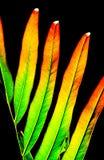 Färgrikt av det ormbunkesidor eller bladet som isoleras på svart bakgrund Arkivfoto