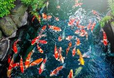 Färgrikt av japansk simning för utsmyckad karpfisk i dammet på t Royaltyfri Bild