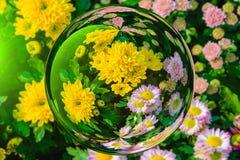 Färgrikt av krysantemum blommar i effekt för glass boll med suddig blommabakgrund Royaltyfri Bild