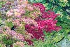 Färgrikt av lönnlöv i hösten, Nikko Royaltyfria Foton