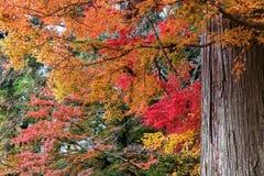 Färgrikt av lönnlöv och jätte- träd i höst arkivfoton