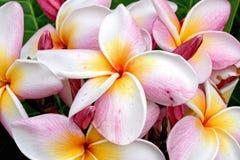 Färgrikt av Plumeria Royaltyfria Bilder