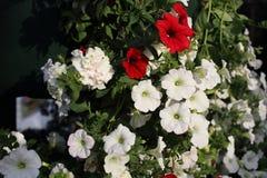 färgrikt blom- för bakgrund Royaltyfri Foto