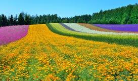 Färgrikt blommafält, Hokkaido, Japan Arkivfoto