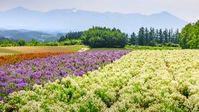 Färgrikt blommafält i sommar, Hokkaido Japan Arkivbild