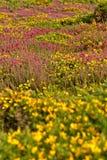Färgrikt fält av lila- och gulingblommor Udde av Frehel Royaltyfria Bilder