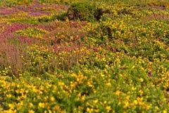 Färgrikt fält av lila- och gulingblommor Udde av Frehel Royaltyfria Foton