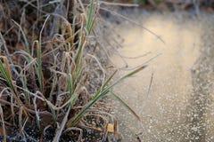 Färgrikt fryst gräs på snöig is Royaltyfri Foto