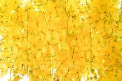 Färgrikt guld- blomma för dusch- eller ratchaphruekblommor arkivfoton