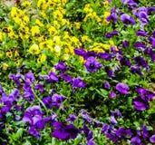 Färgrikt gult, purpurfärgat, fält, blommor, gräs, gräsplan arkivbilder