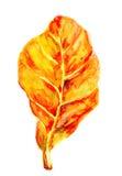 Färgrikt höstblad på vit bakgrund Royaltyfria Bilder