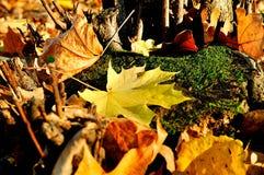 Färgrikt höstlandskap - lönnlöv på trädstubben Arkivfoto