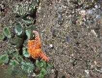 Färgrikt havsliv av den intertidal zonen på Ruby Beach Arkivbild