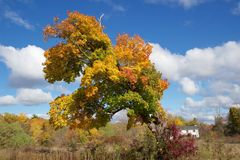 Färgrikt knotigt träd i höst royaltyfri foto