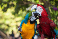 Färgrikt koppla ihop macaws royaltyfria foton