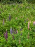 Färgrikt löst blomma för lupin royaltyfria bilder