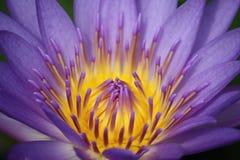färgrikt liljalotusblommavatten Royaltyfri Foto