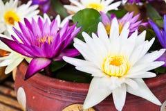 färgrikt liljavatten Royaltyfria Foton