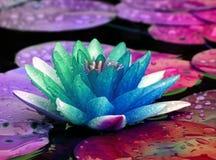 färgrikt liljavatten Royaltyfria Bilder
