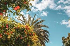 Färgrikt orange träd och palmträd arkivbilder