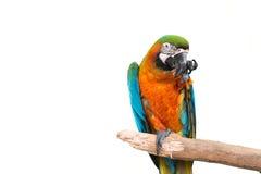 färgrikt papegojaanseende på en filial Royaltyfri Bild