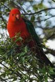 Färgrikt rött papegojasammanträde på ett träd Australien royaltyfri fotografi