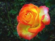 färgrikt steg Royaltyfria Bilder