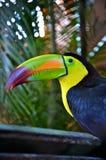 färgrikt toucan Arkivbild