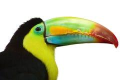Färgrikt tucan royaltyfria foton