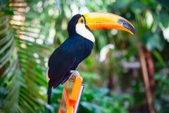 Färgrikt tucan royaltyfri foto
