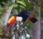 färgrikt tucan fotografering för bildbyråer