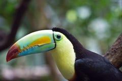 färgrikt tucan royaltyfri fotografi