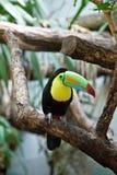 färgrikt tucan för fågel royaltyfri bild
