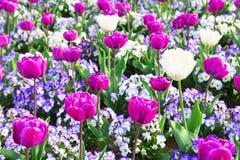 Färgrikt tulpan- och penséblommafält royaltyfria foton