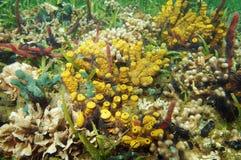Färgrikt undervattens- marin- liv av det karibiska havet Royaltyfri Foto