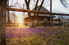 Färgrikt vårlandskap i Ukraina den Carpathian byn med fält av att blomma krokusar arkivbild