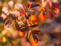 Färgrikt vibrerande, röda sidor för makro Royaltyfria Bilder