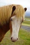 Färgstänk Gene Horse med blåa ögon Arkivfoto