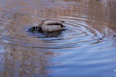 Färgstänken för lös and i det smältande blåa vattnet och att skapa cirklar och färgstänk royaltyfria foton
