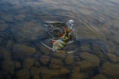 Färgstänksittpinne i vatten royaltyfria foton