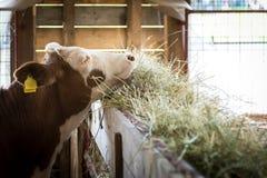 Färse, die auf Heu-, Landwirtschafts- und Ackerbaukonzept einzieht Lizenzfreie Stockbilder