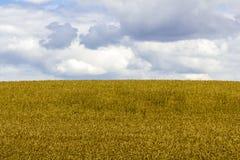Fästa ihop av ett vetefält med molnig himmel Royaltyfria Bilder