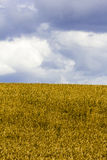 Fästa ihop av ett vetefält med molnig himmel Arkivfoto