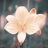 fästande ihop blomma isolerad liljabanawhite Royaltyfri Fotografi