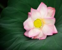 fästande ihop blomma isolerad liljabanawhite Royaltyfria Bilder