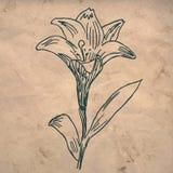 fästande ihop blomma isolerad liljabanawhite stock illustrationer