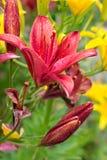 fästande ihop blomma isolerad liljabanawhite Arkivbild