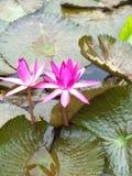fästande ihop blomma isolerad liljabanawhite Arkivfoton