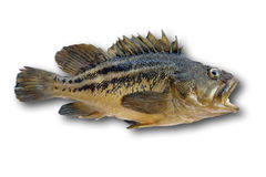fästande ihop fisk isolerad bana Royaltyfri Bild