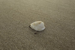 fästande ihop isolerad white för banahavsskal Royaltyfria Bilder